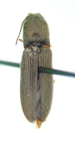Limonius 04 - Limonius quercinus - male