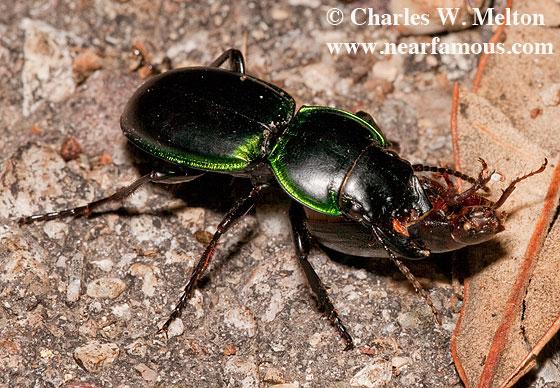 Pasimachus viridans with prey - Pasimachus viridans