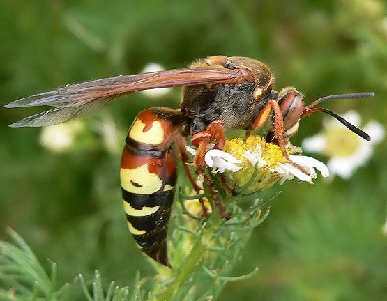 Western Cicada Killer? - Sphecius grandis