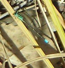 NM Forktail - Ischnura demorsa - male
