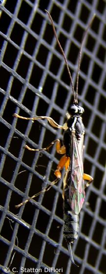 Ichneumon Wasp - Clistopyga recurva - female