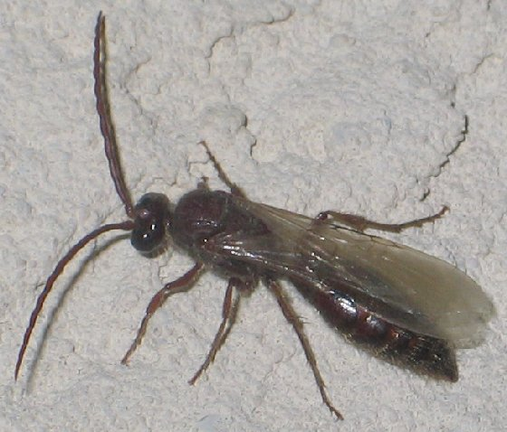 rippled antenna wasp - Colocistis - male