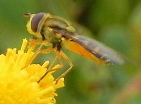 fly on tansy ragwort - Platycheirus - male - female