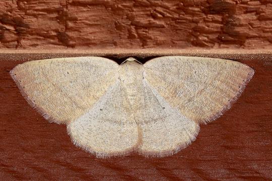 Eudrepanulatrix rectifascia