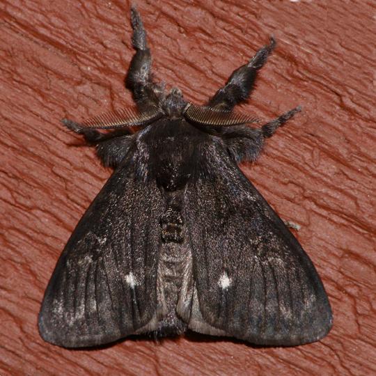 Dasychira grisefacta - male