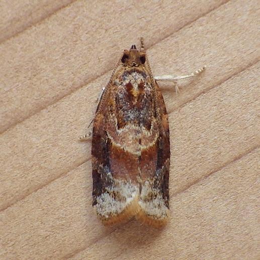 Tortricidae: Argyrotaenia velutinana - Argyrotaenia velutinana