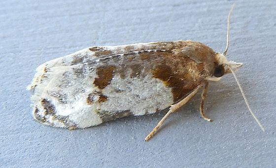 Arizona Moth - Henricus fuscodorsana