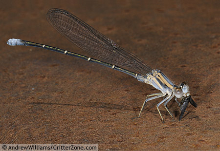 Powdered Dancer Damselfly, eating unknown - Argia moesta - male