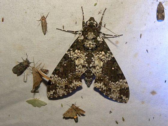 Arizona Moths - Manduca rustica