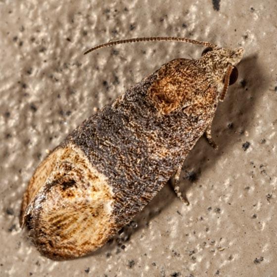 Paralobesia cyclopiana