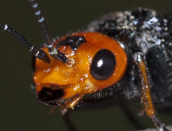 Pine False Webworm - Acantholyda erythrocephala - female