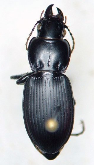 Cyclotrachelus seximpressus