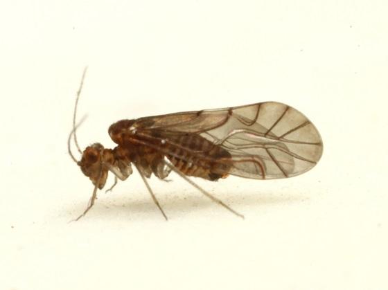 Lachesilla tropica  - Lachesilla tropica - male