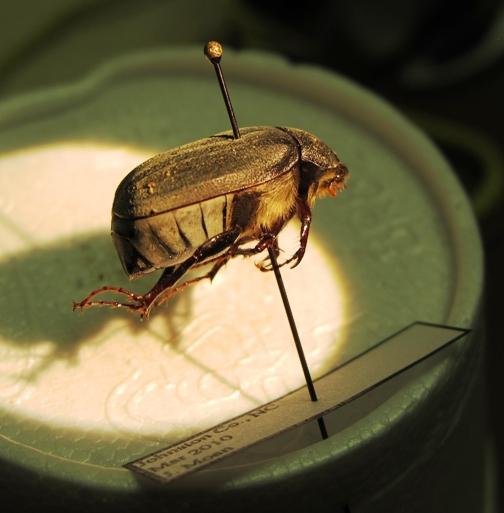 Phyllophaga spp. - Phyllophaga
