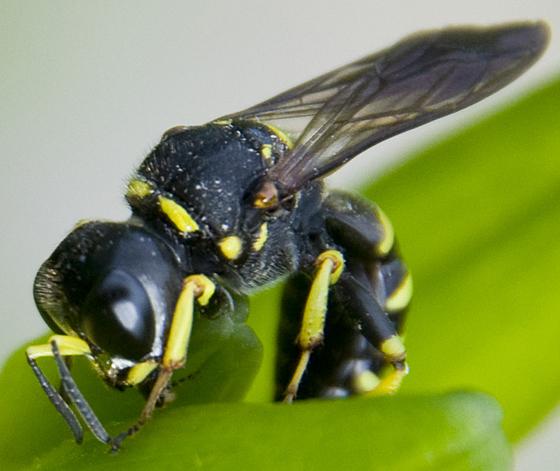 Wasp? - Ectemnius