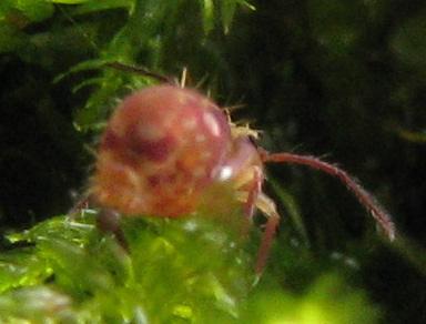 Dicyrtoma possibly-undescribed: antenna - Ptenothrix undescribed