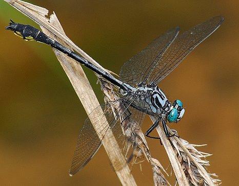 Cherokee Clubtail - Stenogomphurus consanguis - male
