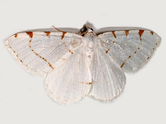 Macaria pustularia - Lesser Maple Spanworm Moth - Macaria pustularia - male