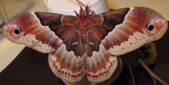 promethea moth - Callosamia promethea - female