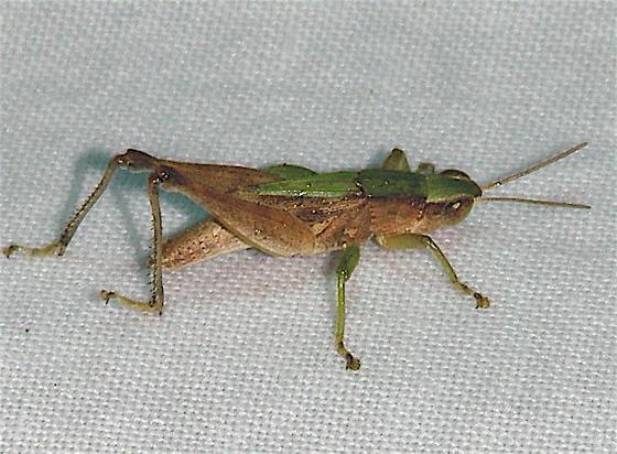 Short-winged Green Grasshopper? - Dichromorpha viridis - male