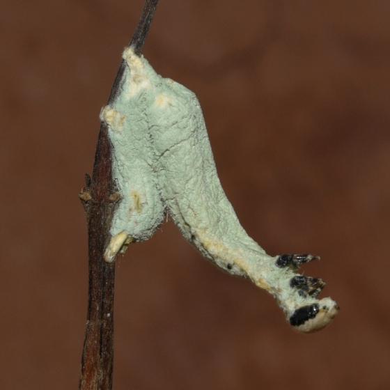 caterpillar with fungus