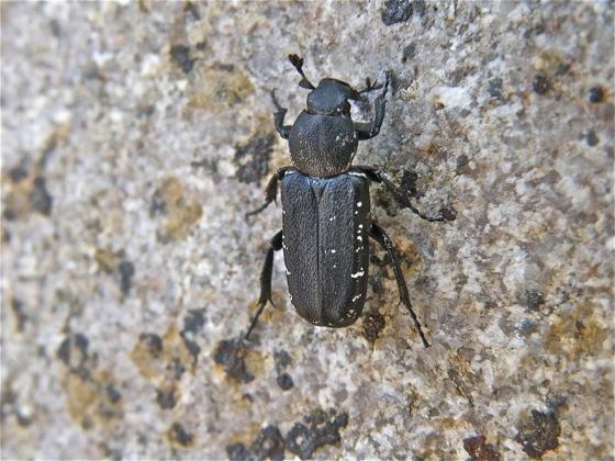 Black Beetle - Genuchinus ineptus
