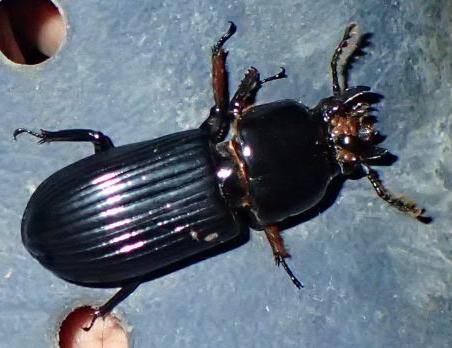 Large, Black Beetle? - Odontotaenius disjunctus