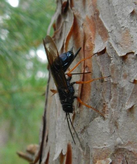 European woodwasp (Sirex noctilio) ovipositing on red pine - Sirex - female