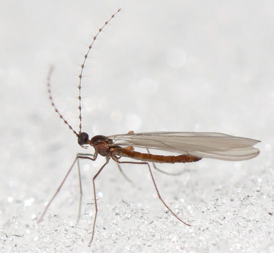 Claspettomyia or something related? - Catocha - male