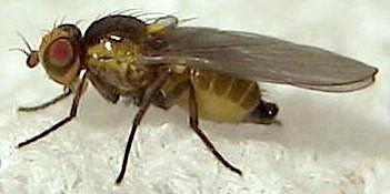 Fly - Liriomyza trifoliearum