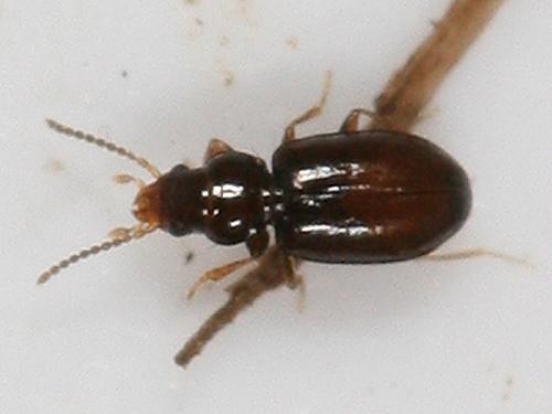 tiny ground beetle - Polyderis laeva