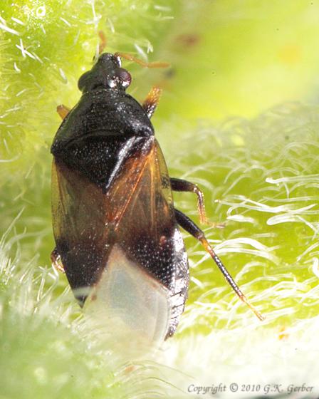 Minute Pirate Bug - Orius insidiosus