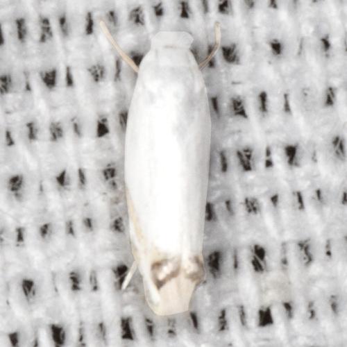 Tiny Moth - Proleucoptera smilaciella