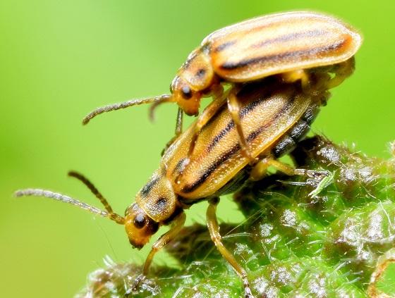 Ophraella communa - male - female