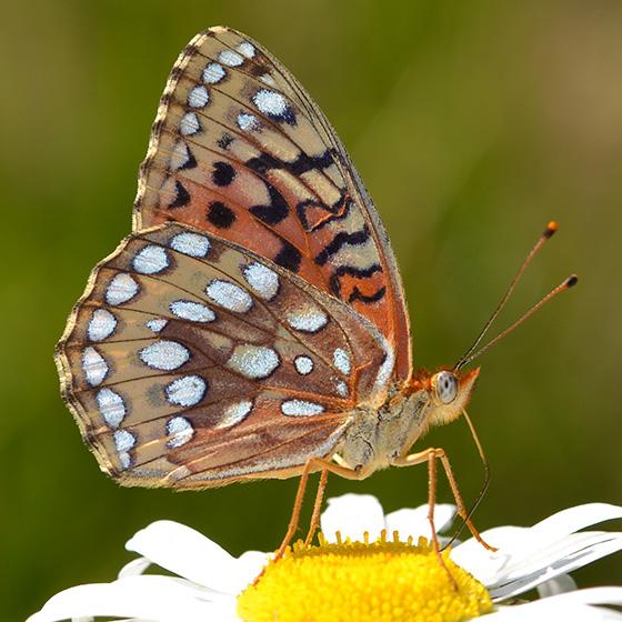 Speyeria - Speyeria coronis - female