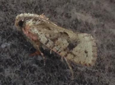 Acrolophus sp.? - Acrolophus walsinghami