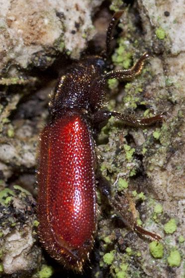 Checkered Beetle - Zenodosus sanguineus