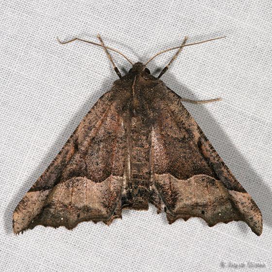 moth - Pero mizon