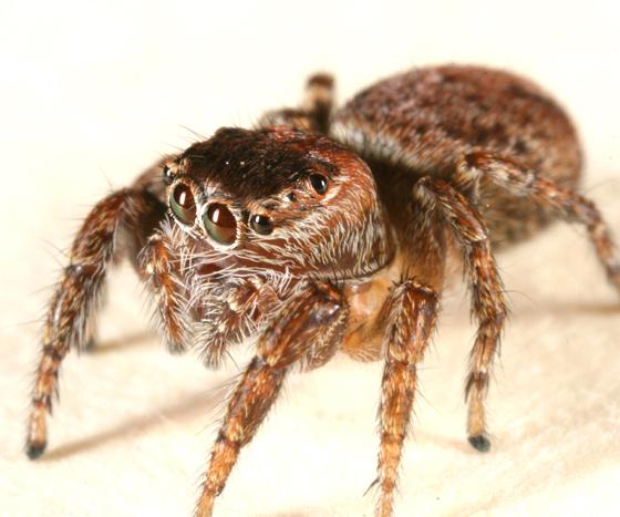 female E. hoyi? - Evarcha hoyi