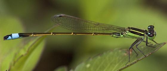 Damselfly - Ischnura ramburii - male