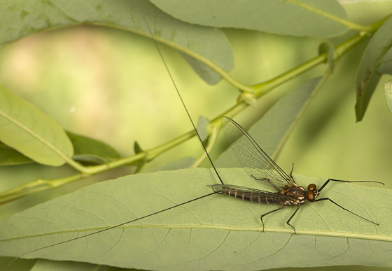 mayfly - Leptophlebia cupida - male