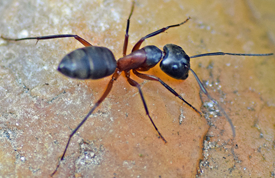 Large ant - Camponotus chromaiodes