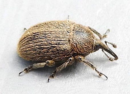 Pennsylvania Weevil - Rhinusa tetra