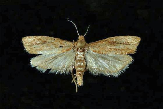 3056  - Pelochrista russeola