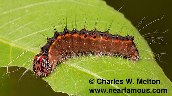 Ultimate larva - Acronicta thoracica