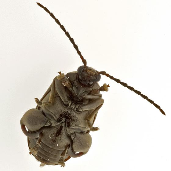 help id - Caryobruchus gleditsiae