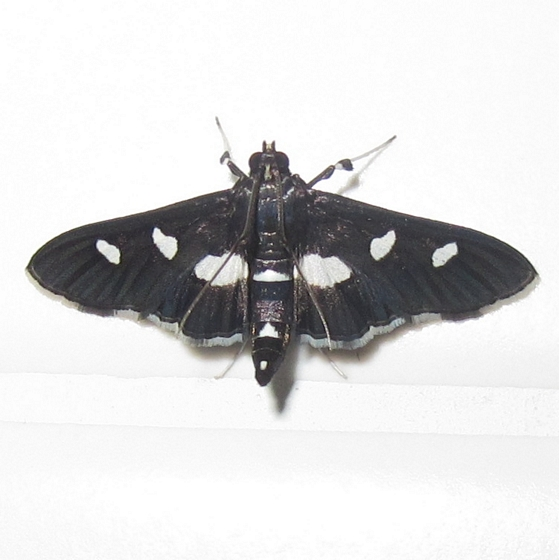 Hodges #5160 - Grape Leafroller Moth - Desmia maculalis
