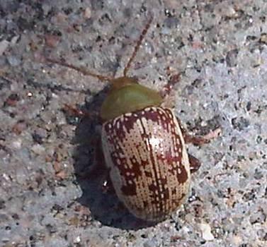 Coors Field Bug - Blepharida rhois