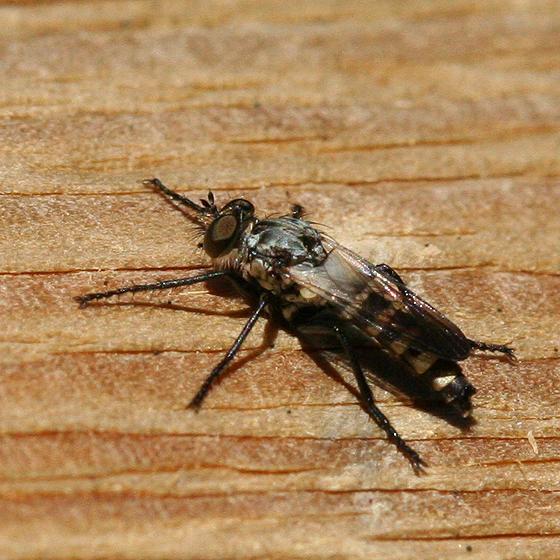 Robber Fly - Coleomyia