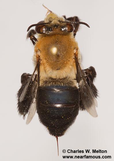 Bee - Centris - female